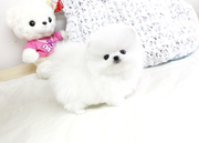 AFHDGS friendly,  and charming  sociable Pomeranian For Sale CALL 07031