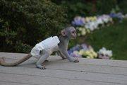 J7U Pairs Capuchin pygmy marmoset available 07031956739